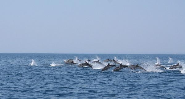 Delfini evoluiscono davanti Ginosa Marina aprile 2012 LD - Copyright Jonian Dolphin Conserva