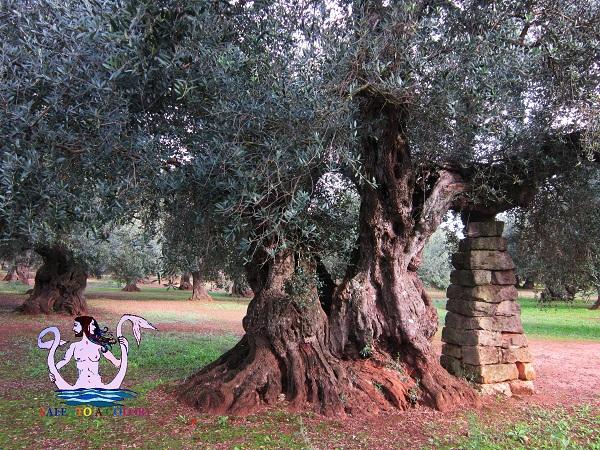 olivi secolari cannole
