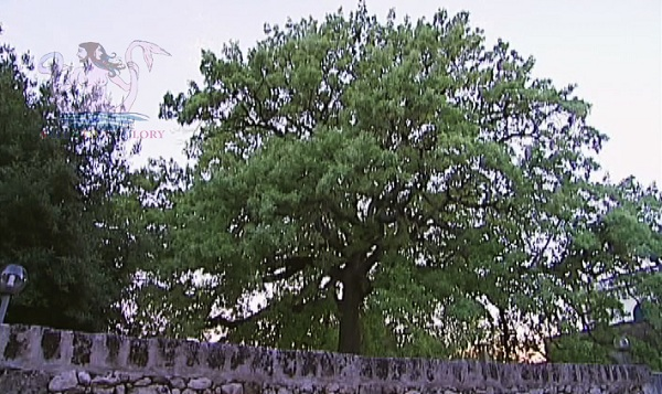 quercia vallonea di corigliano d'otranto