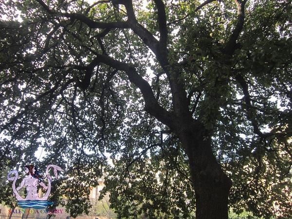 quercia vallonea di lecce