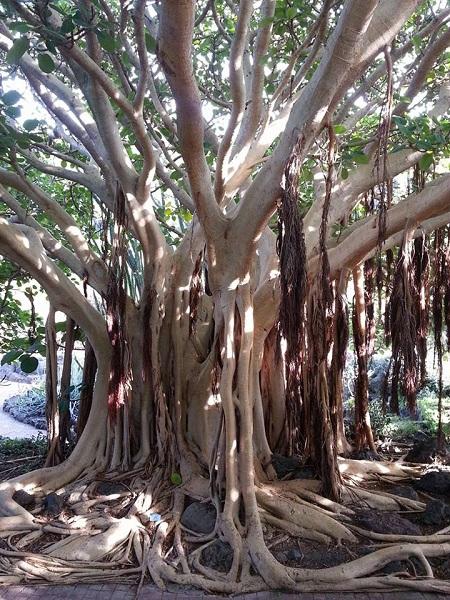 Taifa Baja,Las Palmas,Giardino Botanico, Ficus Socotrana e El Lagarto Gigante di Gran Canaria1