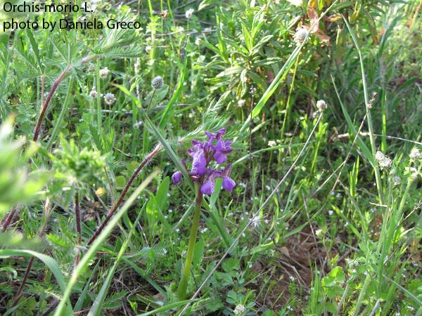 4 Orchis-morio-L.