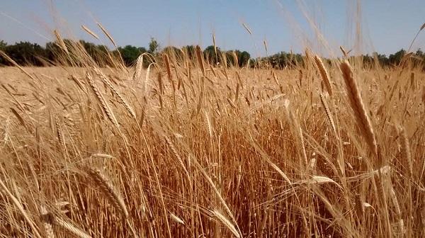raccolta grano
