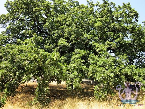 quercia vallonea di tricase