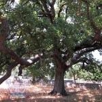 La quercia Vallonea nel Salento