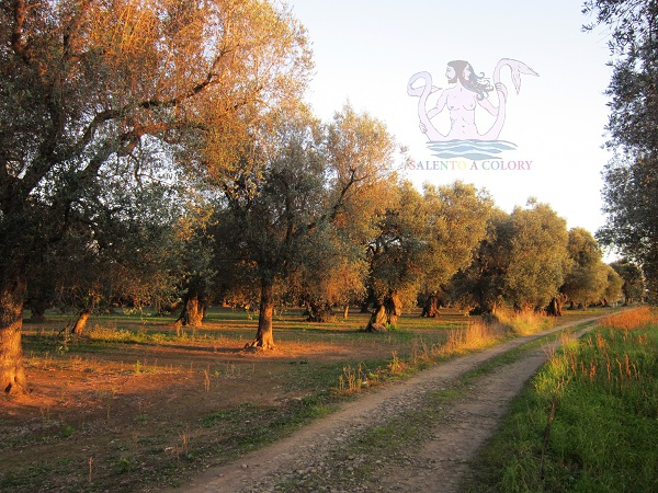 olivi secolari Torre del Moretto