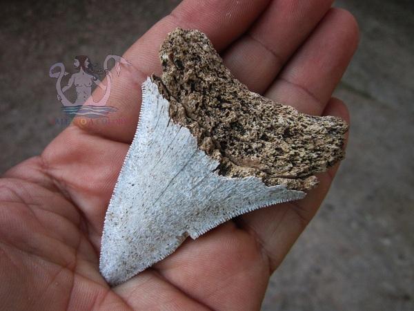 dente di squalo