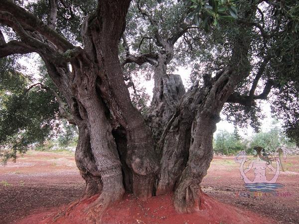 olivi giganti acaya