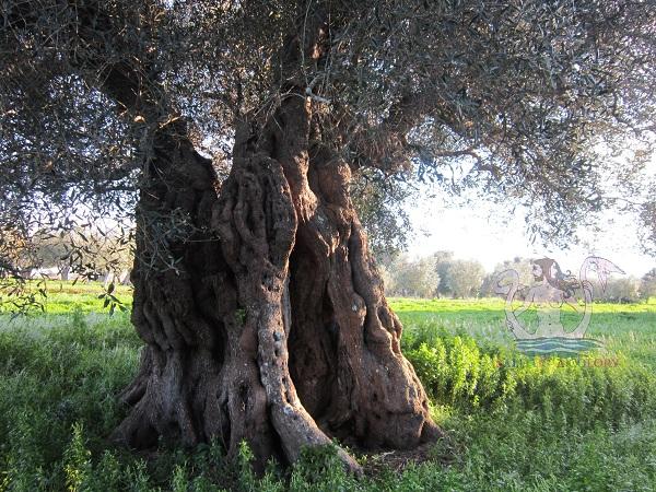 olivi giganti aradeo