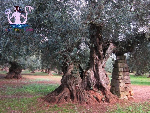 olivi giganti cannole