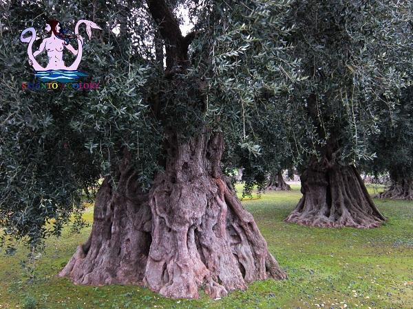 olivi giganti galatone