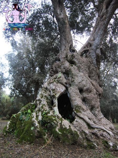 olivi giganti scorrano
