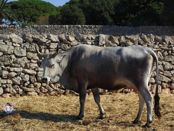 vacca podolica