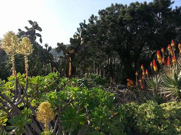 Taifa Baja,Las Palmas,Giardino Botanico, Ficus Socotrana e El Lagarto Gigante di Gran Canaria2