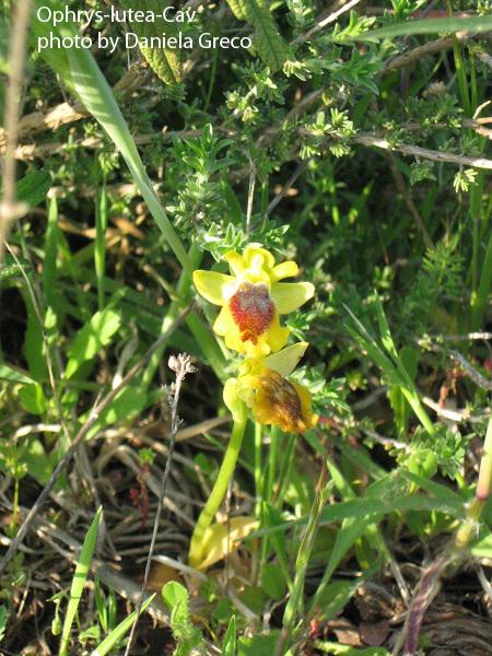 1 da-vicino-Ophrys-lutea-Cav
