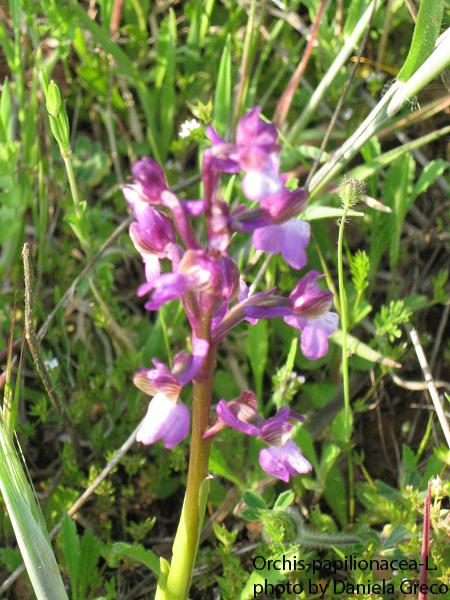 5 Orchis-papilionacea-L.