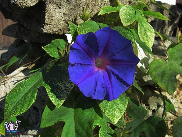 fiore ipomoea